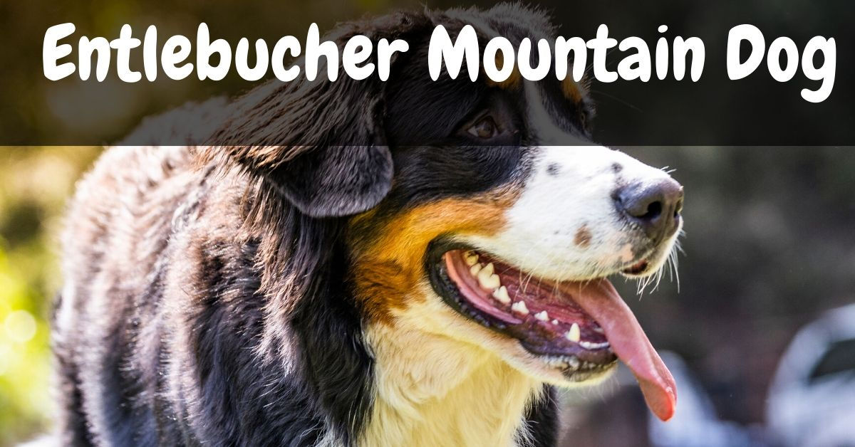 entelbuch mountain dog
